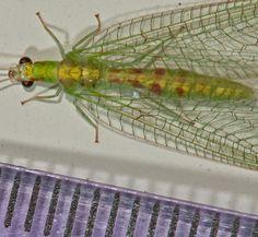 Bộ sưu tập côn trùng 2 - Page 24 A83e031c1dba29ffcedc5dcde5b71d1d--lacewings-fly