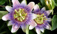La Pasionaria o Flor de la Pasión es una trepadora que no puede faltar en nuestra decoración floral. Su flor es realmente original. #flordelapasion