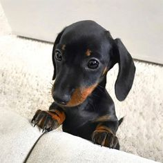 Cute Baby Dogs, Cute Little Puppies, Cute Funny Dogs, Cute Baby Animals, Funny Animals, Funny Dachshund, Dachshund Puppies, Dogs And Puppies, Daschund