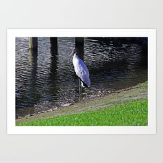 woodstork, bird, nature, feathers,