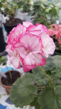 Elmeryds Annelie Vacker pelargon med vita blommor med rödrosa kanter. Du bjuder på sticklingen som är på bil