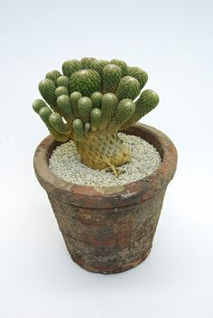 精巧丸 Pelecyphora aselliformis