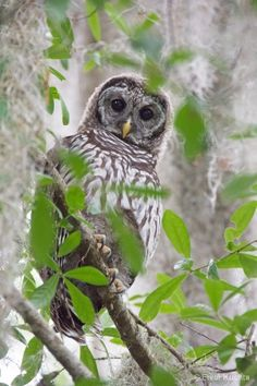 Little Barred Owl in the woods