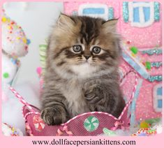 www.dollfacepersiankittens.com