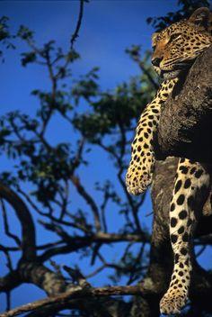 Leopard Just Hangin