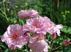 'Odyssey ' Rose Photo