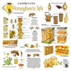 Honey Print featuring the drawing Honey Bees Infographic by Gina Dsgn Honey Bee Hives, Honey Bees, How Bees Make Honey, Bee Hive Plans, Beekeeping For Beginners, Raising Bees, Backyard Beekeeping, Bee Friendly, Save The Bees