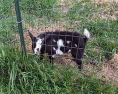 The Maaaaa of Pricilla: Wordless Wednesday - The Grass IS Greener on the Other Side of the Fence