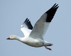 Snow Goose Many birds are white with black wingtips. In Snow Geese, just the outer half of the wing is black. Patterns In Nature, Color Patterns, Goose Tattoo, Native American Medicine Wheel, Wood Carving For Beginners, Bird Identification, Snow Goose, Flying Geese, Bird Design