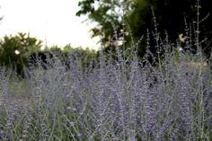 Perovskia. Bella e decorativa colora di romantico l'Orto giardino delle stagioni.