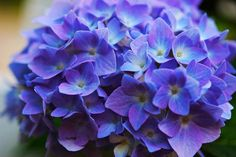 The color of your hydrangeas is determined by the acidity of the soil. Use this one ingredient in your soil to turn your pink hydrangeas to blue. Hydrangea Care, Hydrangea Flower, Purple Hydrangeas, Hydrangea Cupcakes, Hydrangea Serrata, How To Make Pink, Hydrangea Landscaping, Dream Garden, Watercolor Flowers