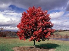 'October Glory' maple  is a perfect large shade tree for USDA zones 4-9. It grows to 50 feet tall and 35 feet wide at a moderate to fast rate. It has gorgeous red-orange fall color.