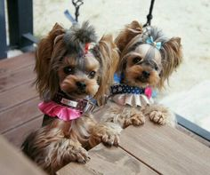 These adorable girls are the epitome of Yorkie cuteness!