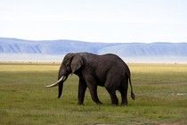 Miracle Elephant Survives Poaching Attack With Spear Still Lodged In His Head