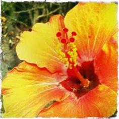 Kula Maui HI flowers