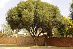 olea europaea subsp africana - Google Search