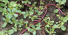 Multă lume smulge această plantă din grădină, considerând-o pacoste. Dar, de fapt, are multe beneficii pentru sănătate şi este populară în mai multe bucătării din întreaga lume. Iarba grasă (Portulaca oleracea) are frunze cărnoase, suculente şi tulpini cu flori galbene şi creşte în diverse condiţii, de la solul fertil din grădină, până la cele mai sărace şi aride zone, chiar şi pietroase. Robusteţea ei este demonstrată de faptul că seminţele pot rămâne viabile, îngropate în sol până la 40…