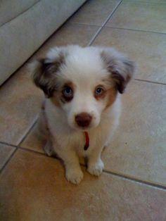 Australian Shepherd Puppy - he looks like he has a little black eye! @Paige Garber