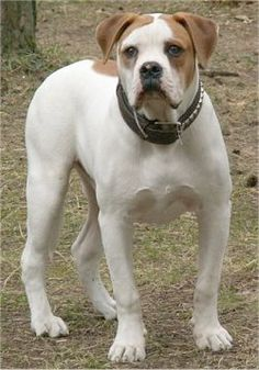 Pictures of American Bulldogs and bios about the dogs. Page 3 Bulldog Names, Bulldog Pics, Bulldog Breeds, American Bulldog Puppies, American Bulldogs, Fear Of Dogs, American Gladiators, Dog Breeds Pictures, Dangerous Dogs