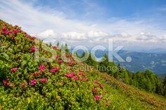 #Alpine #Rose On Mt. #Gerlitzen @iStock #iStock @carinzia #ktr15 #carinthia #summer #season #spring #hiking #biking #landscape #nature #outdoor #beautiful #bluesky #travel #sightseeing #holidays #vacation #leisure #austria #stock #photo #portfolio #download #hires #royaltyfree