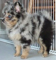 Teacup Pomeranian <3 I LOVE this color! this would literally be the only small dog i'd get...