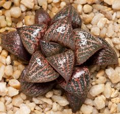 Haworthia (splendens x picta) x 'D-Light'
