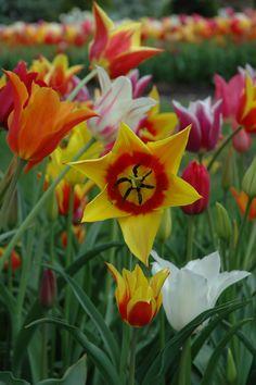 Holland Michigan Tulips