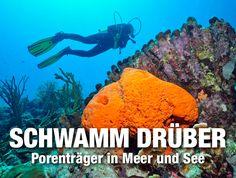 Schwamm drüber!. Porenträger in Meer und See - unser Bericht in der Kategorie Biologie in DiveInside - dem frischen Onlinemagazin von Taucher.Net