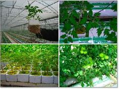 Fuorisuolo in #substrati a base #perlite  #pomodoro- #soilless #horticulture #tomato #perlite #substrate