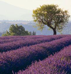 Lavender fields...wow!