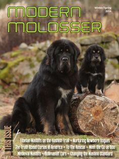 Modern Molosser, Winter/Spring 2016 issue, Cover photo by Sanna Sander. Check out the great stories inside at https://modernmolosser.com/issues/modern-molosser-winterspring-2016/
