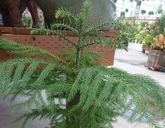 Norfolk Island Pine Pruning: Information On Trimming A Norfolk Island Pine Norfolk Pine, Pine Trim, Pine Leaf, Norfolk Island, Yellow And Brown, Houseplants, Herbs, Leaves, Gardens