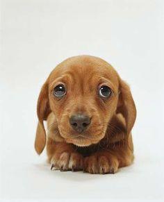 Mini weiner dogs