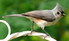 Plants That Attract Titmice (on www.MetaphoricalPlatypus.com; Titmouse Photo by Ken Thomas, Wikipedia)