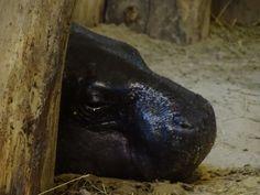 Aquarellkurse und Malevents für Familien im Rostocker Zoo   Malevent im Rostocker Zoo bei den Zwergflusspferde (c) Frank Koebsch (3)
