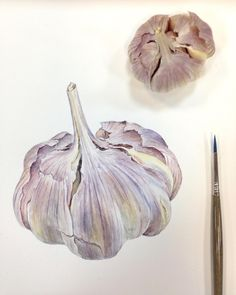 Botanical illustration of the Garlic. Watercolor Fruit, Fruit Painting, Easy Watercolor, Watercolor Paintings, Watercolours, Botanical Drawings, Botanical Art, Close Up Art, Garlic Benefits