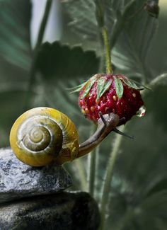Snail on strawberry Bluebloodandbourbon
