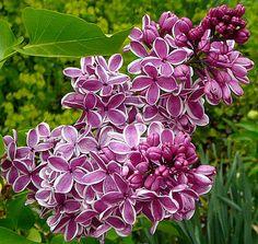 High Altitude Gardening: Mountain Lilacs