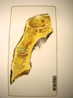 Educational Hoof Anatomy Gifts to Give and to Get from the Hoofcare Collection