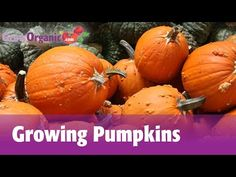A Really Great video Guide To Growing Pumpkins | Herb And Veggie Garden