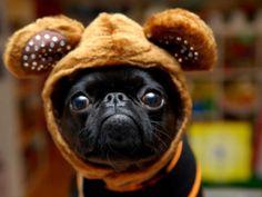 Baby Bear Pug