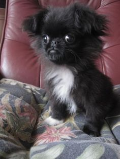 "Apparently this puppy is a Japanese Chin x Peke x Pomeranian mix.  Not sure if he's simply ""cute"", or ""so ugly he's cute""!  His cute little face makes him look like the canine version of ""Grumpy Cat"" :-)."