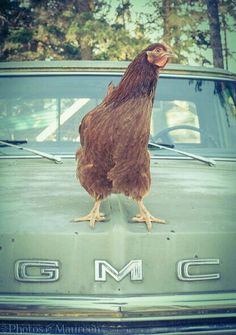 Not a huge GMC fan but chickens rule Country Farm, Country Life, Country Girls, Country Living, Farm Animals, Cute Animals, Funny Animals, Chickens And Roosters, Pet Chickens
