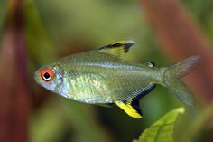 Lemon Tetra (Hyphressobrycon Pulchripinnis) Wanna try it with my new betta ^-^