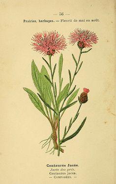 P. Klincksieck - Centaurea jacea : Atlas de poche des plantes des champs, des prairies et des bois Paris, 1894 // Biodiversity Heritage Library, n123_w1150