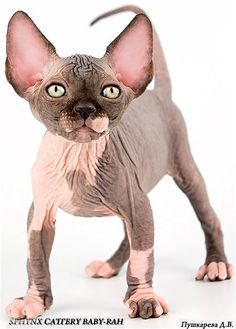 Just look how cute this sphynx kitten is!      Lots of people repin this cute adorable image, i will update this board more since a couple more sphynx kitty images have been repinned.- Thx, ?