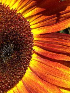 Sunflowers in Calgary Alberta Buddhist Temple, Calgary, Sunflowers, Temples, Sunflower Seeds