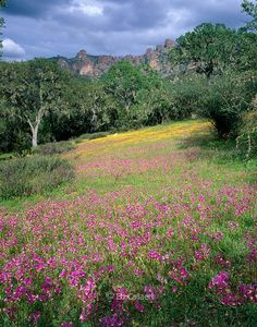Wildflowers at the Pinnacles National Monument, San Benito County, California.