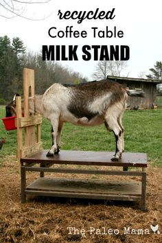 Have a dinged up coffee table laying around? This simple, cheap, and effective recycled coffee table milk stand is a perfect design for your dairy goats! Keeping Goats, Raising Goats, Raising Farm Animals, Goat Shelter, Goat Pen, Goat House, Goat Care, Boer Goats, Nigerian Dwarf Goats
