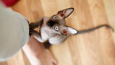 Cat Facts: 6 Fascinating Facts About Hairless Cats - CatTime Sphynx Cat, Hairless Cats, Elf Cat, Hypoallergenic Cats, Homeless Dogs, Gatos Cats, Pet News, Cat Wallpaper, Cat Facts